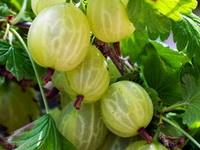 Agrastai, žalieji, raudonieji - Medelynas Babtų vaismedžiai