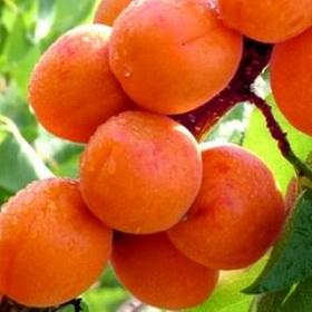 Early orange, Abrikosai