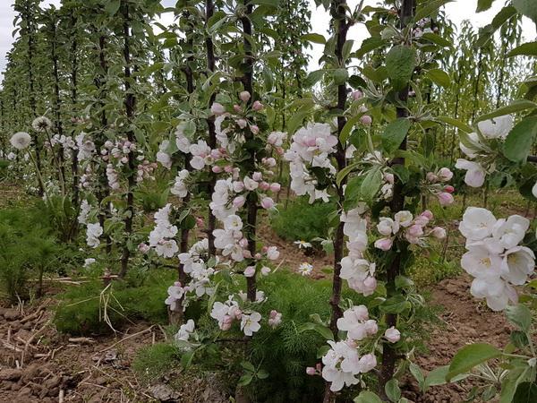 Koloninių obelų plantacija, Babtai