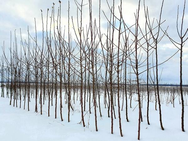 Medelynas žiemą, Babtai