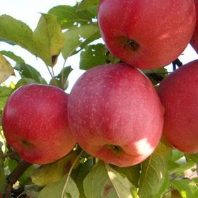 Florina, Obelis žieminė