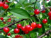 Vyšnios - Medelynas Babtų vaismedžiai