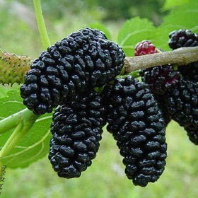 Šilkmedžiai, Juodasis šilkmedis - Medelynas Babtų Vaismedžiai